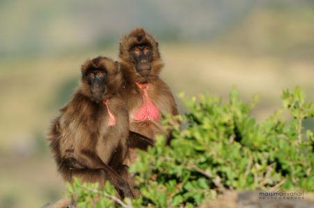 2013- 11-  000125 Etiopia-Debre Libanos  Gelada Baboons
