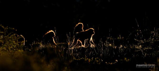2013- 11-  000156 Etiopia-Debre Libanos   Gelada Baboons (controluce)