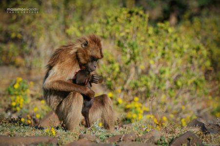 2013- 11-  000309 Etiopia-Debre Libanos  Gelada Baboons