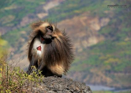 2013- 11-  000402 Etiopia-Debre Libanos  Gelada Baboon