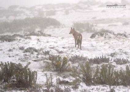 2013- 11-  001683 Etiopia-Sanetti Plateau  Wolf In The Snow