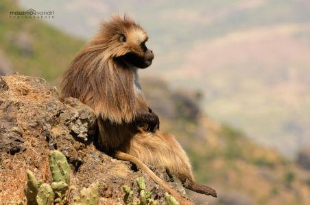 2013- 11-  003574 Etiopia-Debre Libanos  Gelada Baboon (relax)