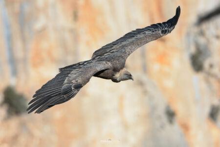 2014- 10-  000331 Verdon-Griffon Vulture